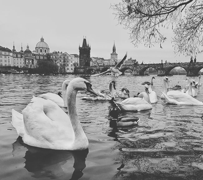Animals In The Wild Large Group Of Animals Outdoors Water Bird Swan No People Water Swans Charles Bridge Prague Czech Republic EyeEm Best Shots Swantastic Prague Tower Praguelover Eyeemphotography Prague Time EyeEm Best Edits Eyeem Market Prague Old Town EyeEm Beauty In Nature Building Exterior Built Structure Beautiful Day