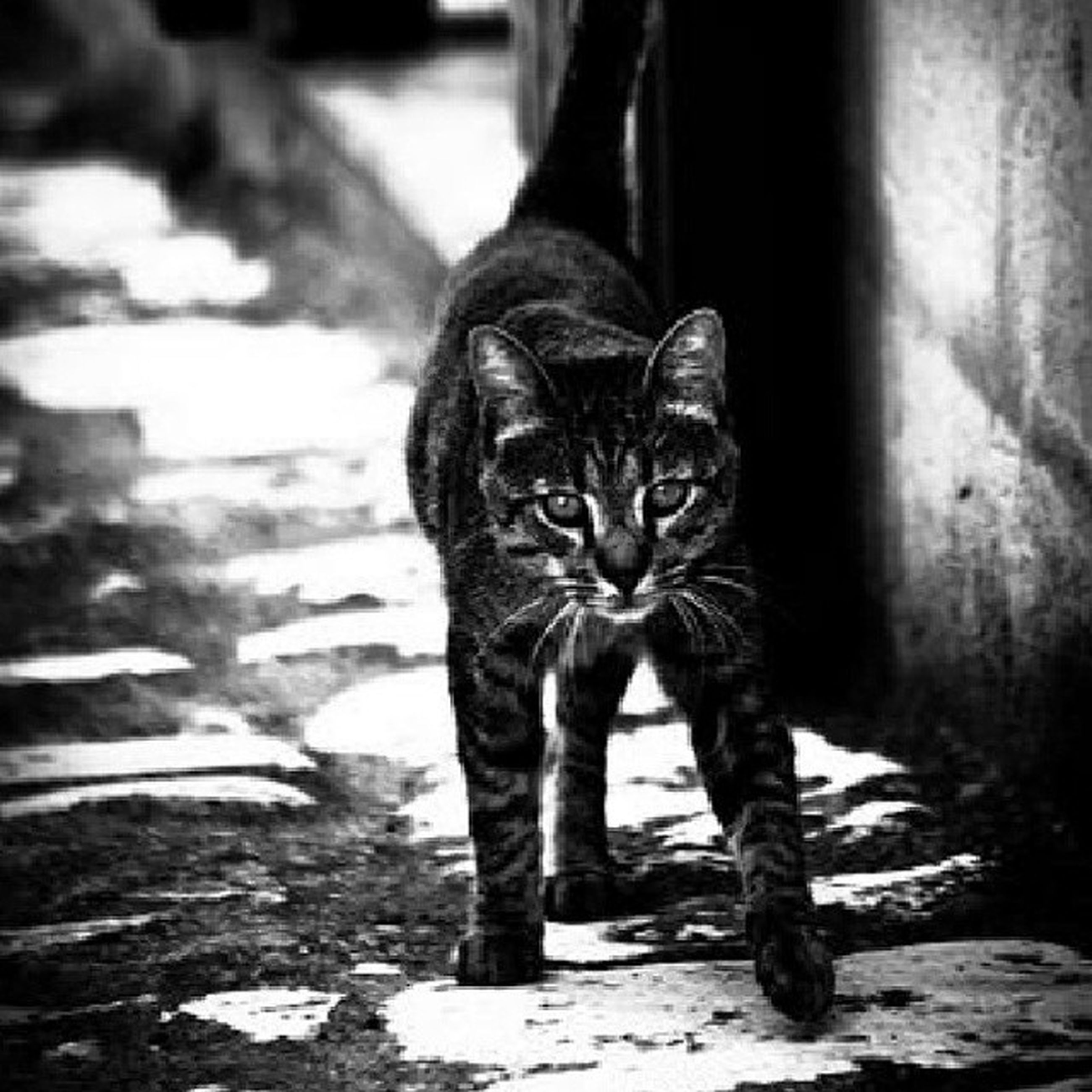 one animal, animal themes, domestic cat, pets, domestic animals, mammal, cat, feline, whisker, focus on foreground, portrait, looking at camera, full length, sitting, street, standing, day, front view, close-up