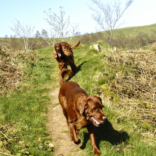 Dogs on the trail Animal Themes Day Dog Domestic Animals Field Flat Coated Retriever Graceful Grass Mammal Mansbestfriend Nature No People Outdoors Pets Sky