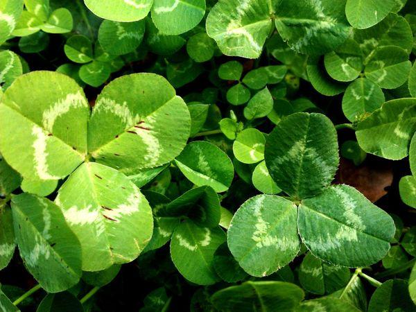 Beautifully Organized Rijeka.Croatia❤⛵ Rijeka Green Greenleaves Plant Photography Clover Clover Leaf Clover Clover Field