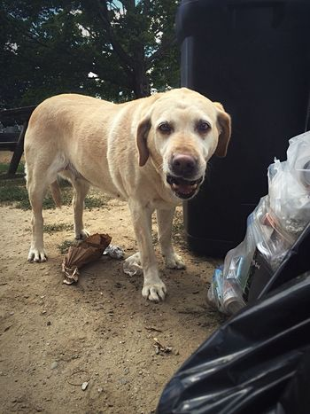 Dog Dogs Lost Dog Yellow Lab Yellow Dog  Golden Dog Homeless Homeless Dog Homeless Dogs Sad Dog Sad Dog Eyes Garbage Garbage Can