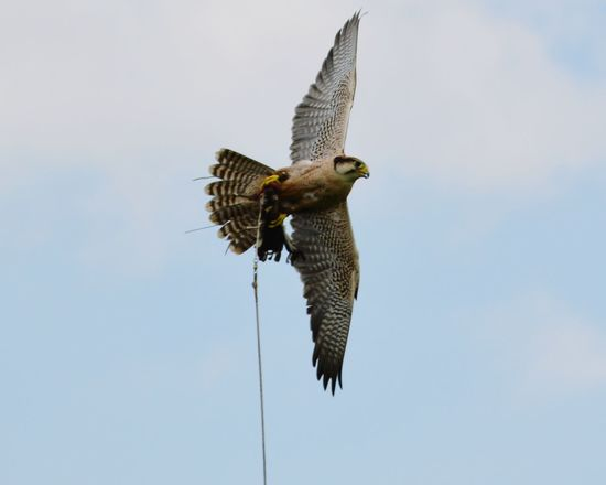 Lanner Falcon Falcon Falconry Display Falcon Flying Lure Catchingthe Lure Feeding On The Wing Bird Photography Wildlife Photography Power In Nature Birds Of Prey Raptor Nature Photography Capturing Movement