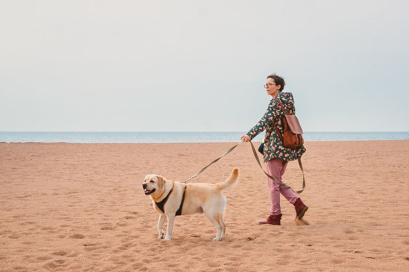 A girl and a fawn labrador retriever on a harness walk along a sandy beach in autumn. traveling