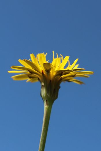 Close-up of yellow flower against blue sky