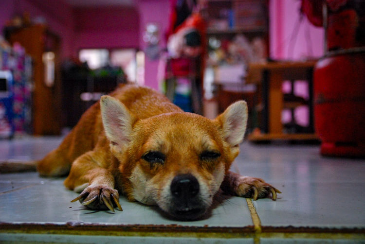 Close-up of a dog lying on floor at home