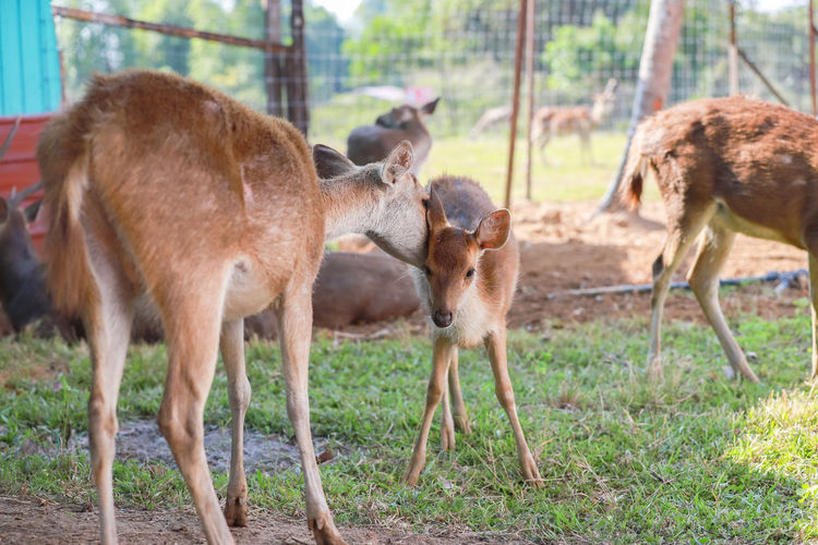 Deer on Farm Deer Deer Park Group Of Animals Animal Mammal Animal Themes Domestic Animals Vertebrate Animal Wildlife No People Young Animal Day Domestic Nature Livestock Plant Animals In The Wild Land Focus On Foreground Field Pets Two Animals Herbivorous Animal Family