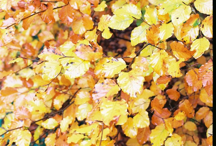 Autumn🍁🍁🍁 Autumn Leaf Yellow Outdoors Nature Woods Woodland Photography WoodLand Forest Photography Forest Autumn Colors Autumn CarlZeiss Contax167mt