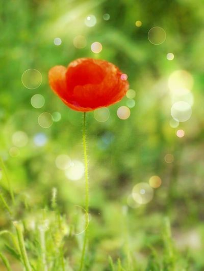 Poppy Poppy Flowers Red Red Color Flower Tree Bubble Wand Defocused Red Summer Backgrounds Christmas Drop Mid-air Bubble