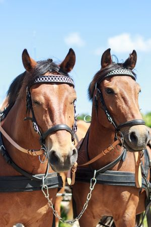 Horse Domestic Animals Brown Animal Themes Outdoors Harness Pferde Gespann Braun Pet Portraits