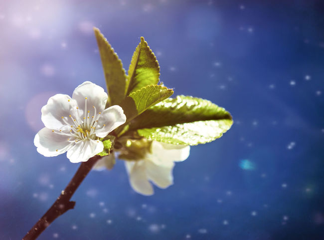 White Cherry Blossom against a blue sky. Beauty In Nature Blooming Blossom Bokeh Botany Bud Close-up Day Dream Like Ethereal Flower Flower Head Fragility Freshness Growth In Bloom Nature No People Outdoors Petal Plant Pollen Stem Twig White Cherry Blossom