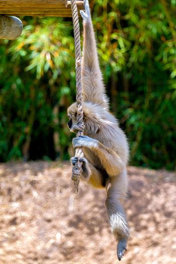 Gray langur hanging on rope