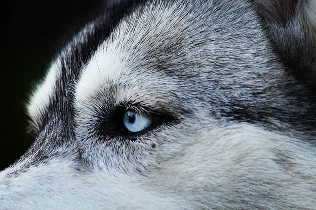 one animal, dog, pets, animal themes, domestic animals, animal head, close-up, mammal, portrait, no people, looking at camera, wolf, outdoors, day