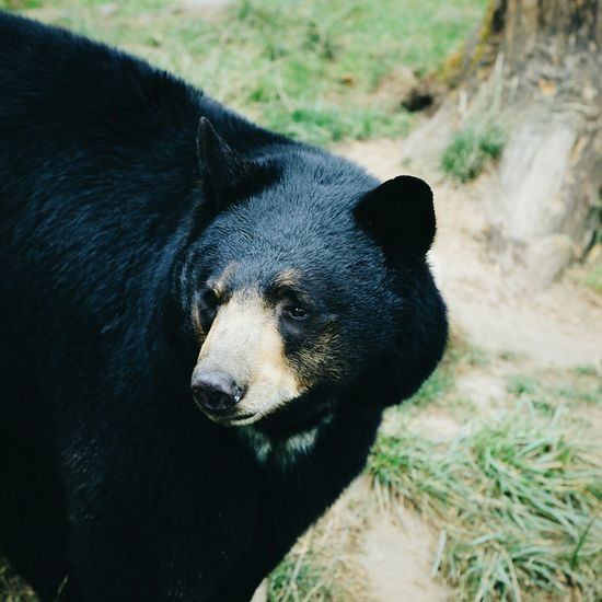 Brother bear Nature On Your Doorstep Oregon Zoo BlackBear