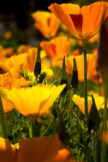 Beauty In Nature Blooming California Poppies Close-up Day Flower Flower Head Fragility Freshness Garden Gardening Growth Leaf Nature No People Orange Color Orange Poppy Outdoors Petal Plant Poppy Selective Focus Summertime Yellow