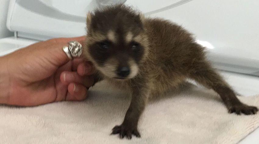 Racoon Baby Raccoon