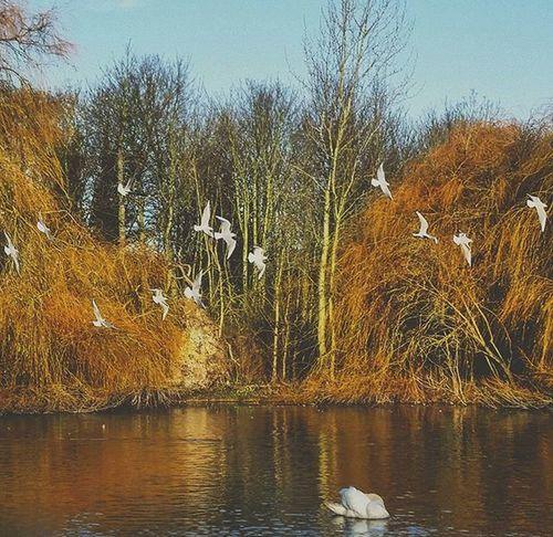 Fly Away 🐥 Nature Birds Pond Swan Naturelovers Trees Pixelpanda Ig_naturelovers Ig_nature Explore Fly