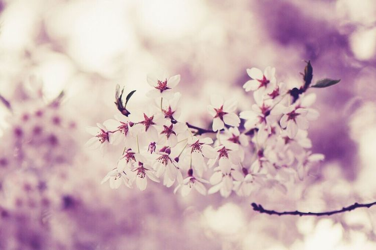Cherry Blossoms Spring Happy Pink Nature