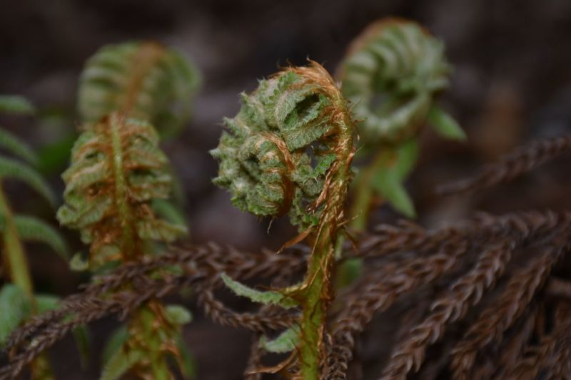 Young Curled Fern Plant Close-up Green Color No People Growth Nature Springtime Decadence Beauty In Nature Day Focus On Foreground Outdoors Flower Leaf Selective Focus Botany Springtime Decadence The Minimalist - 2019 EyeEm Awards