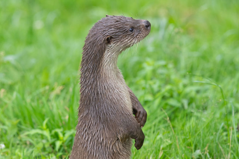 Portrait of a eurasian otter standing up