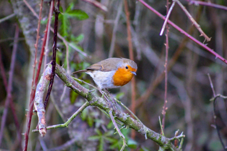 Hedge Row Beauty EyeEm Best Shots EyeEm Nature Lover EyeEmBestPics EyeEm Best Shots - Nature Beauty In Nature Wonders Of Nature Bird Perching Tree Robin Animal Themes Close-up Songbird  Twig Branch