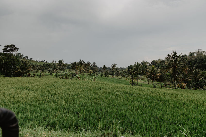 Bali Agriculture Beauty In Nature Crop  Day Farm Field Grass Green Color Growth Landscape Nature No People Outdoors Palm Tree Rice Paddy Rural Scene Scenics Sky Terraced Field Tranquil Scene Tranquility Tree