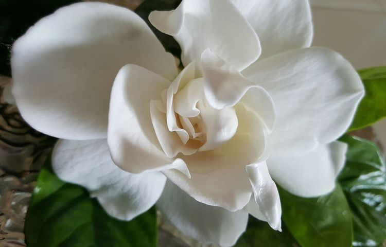 Gardenia Flower from my Front Porch Beautiful Fragrant Flower my Mom's Favorite Flower Beauty In Nature Plant Petal Flower Head Fragility Close-up No People Freshness Growth Day Nature Bigislandhawaii Namaste ❤