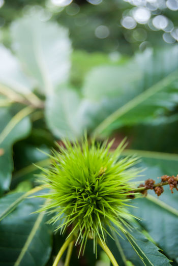Chestnut Beauty In Nature Close-up Day Flower Flowering Plant Focus On Foreground Fragility Freshness Green Color Growth Hedgehog Leaf Nature No People Outdoors Plant Plant Part Selective Focus Spiked Spiky Sunlight Unripe Fruit Vulnerability
