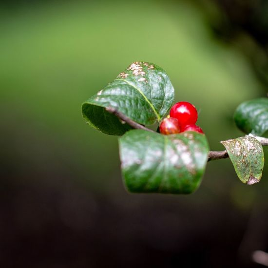 Canon EOS 60D Fruit Red Close-up Plant