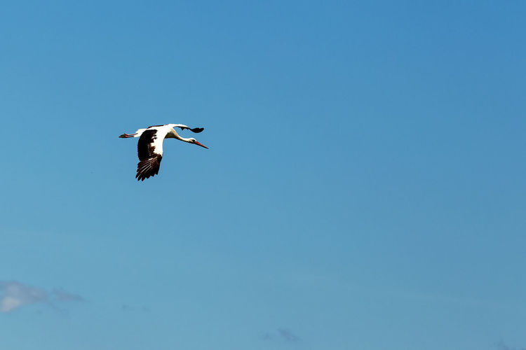Low angle view of white stork flying against clear blue sky