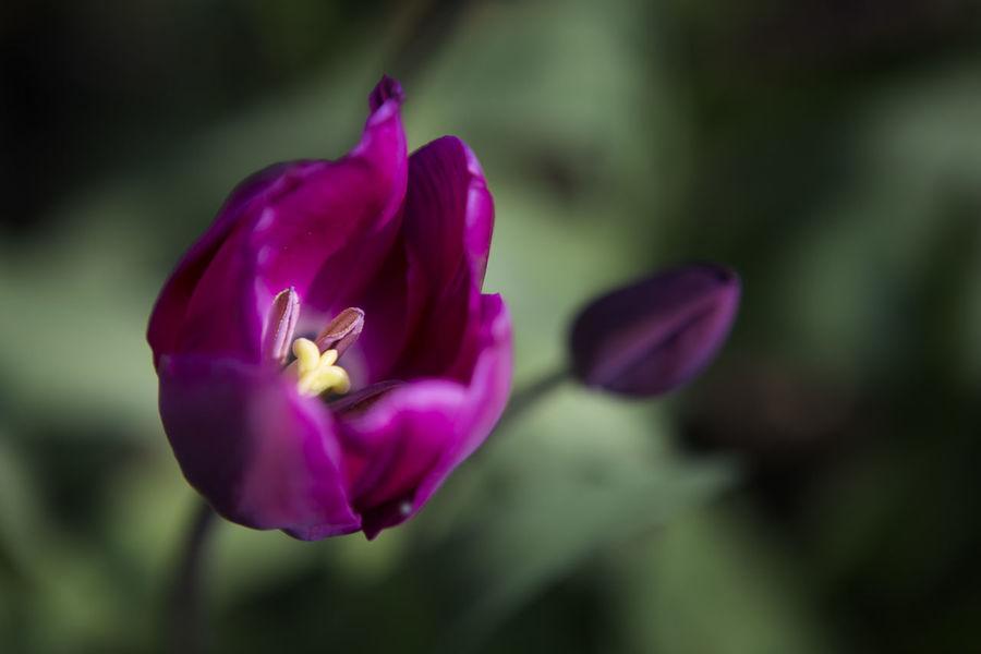Color Purple Flower Flower Collection Flowering Plant Flowerporn Freshness Nature Purple Tulip The Color Purple Tulip Tulipa
