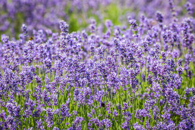 A full frame photograph of an abundance of lavender, with a shallow depth of field Flowering Plant Flower Beauty In Nature Plant Purple Fragility Field Lavender Growth Vulnerability  Freshness Nature Land No People Close-up Lavender Colored Selective Focus Backgrounds Full Frame Petal Flower Head Softness Summer