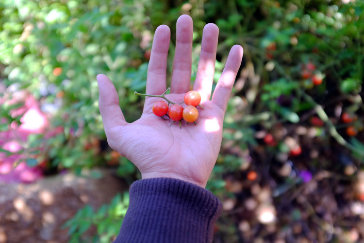Cropped hand showing red cherry tomatoes
