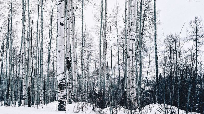 Trees. Colorado Vail,co It's Cold Outside