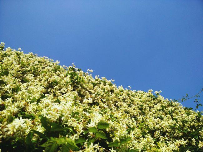 a wall of Jasmine in our garden / Jasmine Flower Flower Nature_collection Naturelovers Flowerporn Flowerpower
