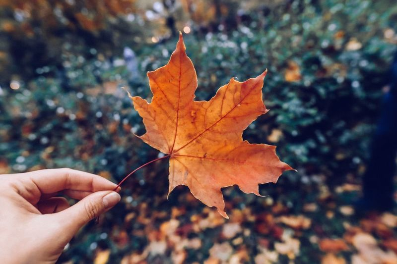 Human Hand Hand Leaf Plant Part Autumn Human Body Part Holding Personal Perspective Close-up Unrecognizable Person Change One Person Maple Leaf Focus On Foreground Real People Body Part Nature Finger Human Finger Day