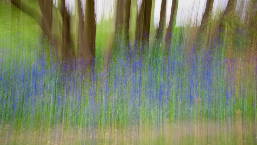 Bluebells in
