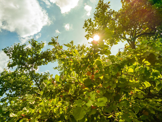 Apricot tree Back Branch Day Fruit G Leaf Leafs Outdoors Photography Sky Summer Sun Sunny Tree
