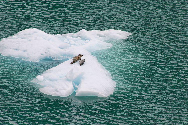 Seals on floe ice in tracy arm fjord, alaska.