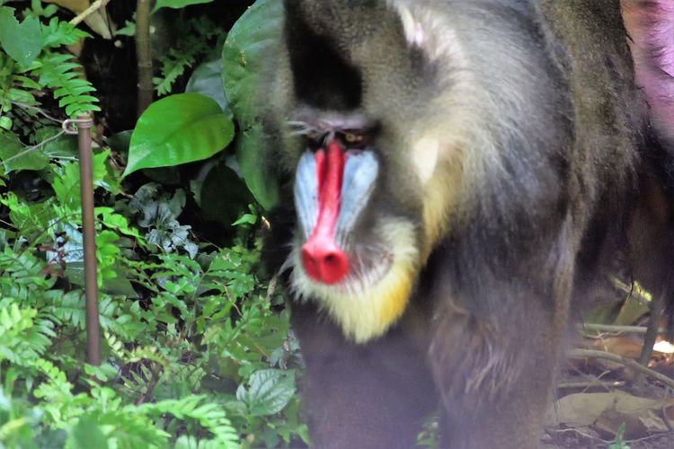 Wildlife and forestry Animal Animal Body Part Animal Head  Animal Themes Animal Wildlife Animals In The Wild Close-up Day Leaf Mammal Monkey Mouth Mouth Open Nature No People One Animal Outdoors Plant Plant Part Primate Vertebrate