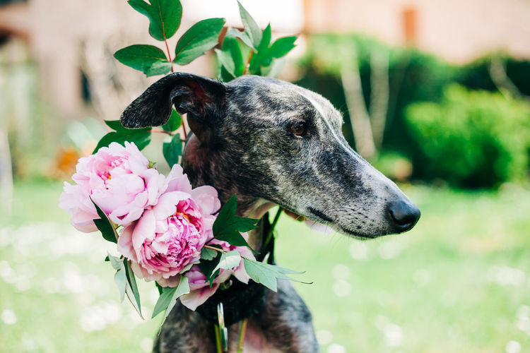 Close-up of a dog on pink flower
