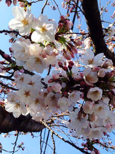 一気に桜がひらきはじめました! Walking Around Cherry Blossoms