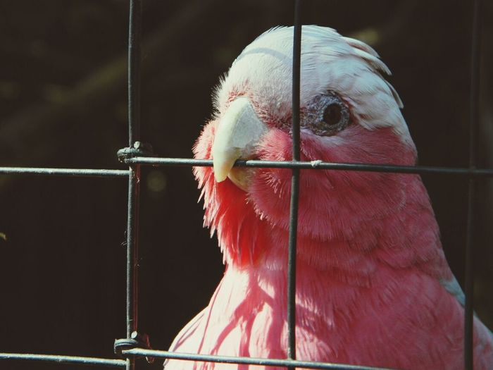 Portrait of beautiful pink bird in cage