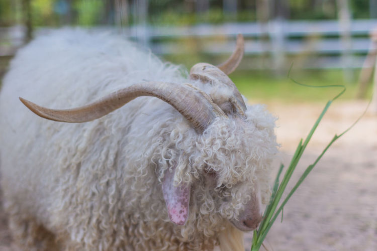 Sheep in the zoo Animal Themes Mammal Animal Domestic Animals Domestic Pets Livestock Focus On Foreground One Animal Vertebrate No People Day Nature Close-up Horned Sheep Field White Color Outdoors Animal Hair Herbivorous Animal Head