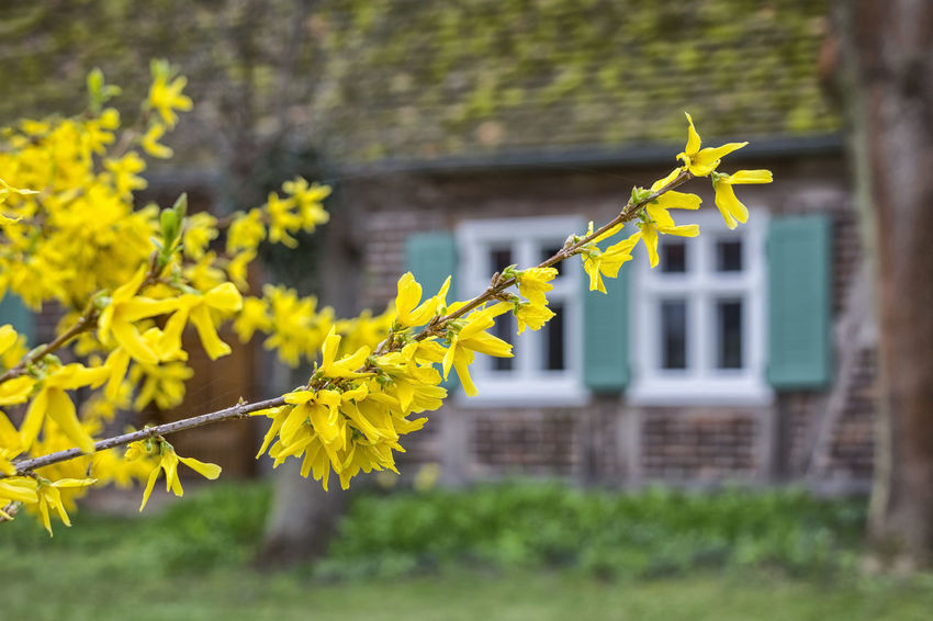 Springtime is coming. Architecture Blooming Building Exterior Close-up Day Flower Forsythia Forsythie Growth Nature No People Outdoors Plant Rural Scenes Village Yellow