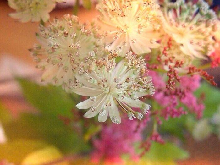 アストランティア Tadaa Community 花占い Flower Collection Eye Em Nature Lover