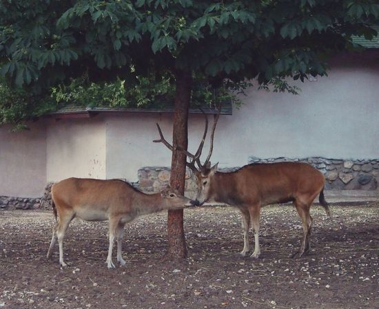 Love Tenderness Wild Animal Zoo Deer The Two Is Better Than One Adapted To The City