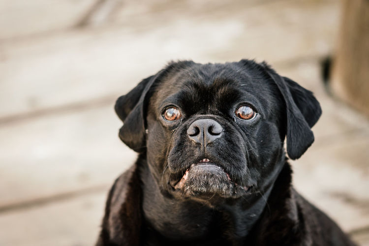 Close up of black dog looking at camera with brown big eyes Animal Animal Body Part Animal Eye Animal Head  Animal Themes Black Color Canine Close-up Day Dog Domestic Domestic Animals Looking Looking At Camera Looking Up No People One Animal Pets Portrait Puggle