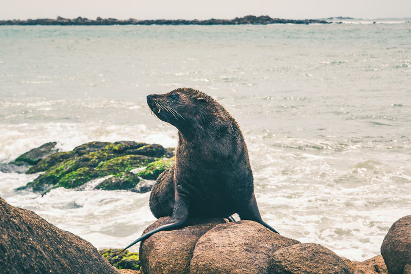 Close-up of sea lion sitting on rock at beach