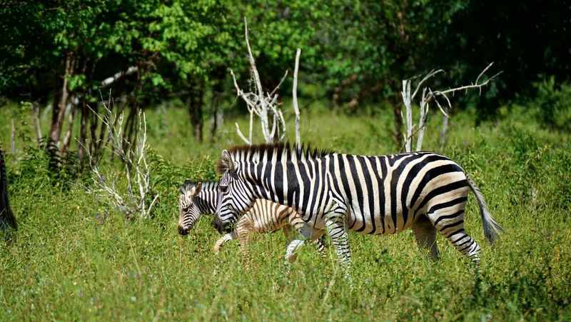 Africa Wildlife Animals In The Wild Zebra Grass Nature No People Safari Animals African Animals African Nature First Eyeem Photo Mother & Daughter Trees