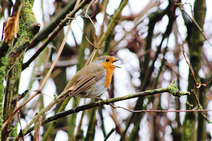Robin Birds Nature Songbird  Beautiful Stonham Barns Suffolk United Kingdom